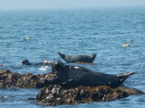 Seals off the coast of Anglesey